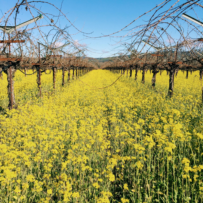 It's mustard season in the valley!
