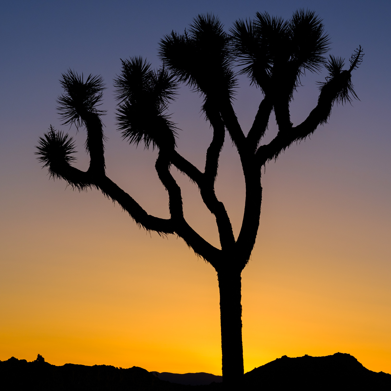 The Joshua tree in its iconic beauty, silhouetted by the setting Sun