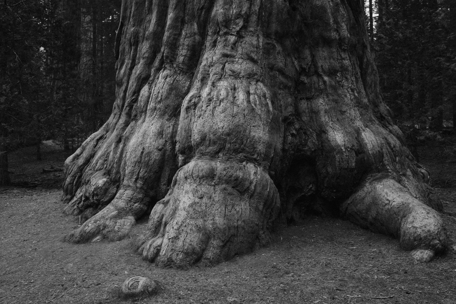 A giant sequoia at  Sequoia and Kings Canyon National Parks