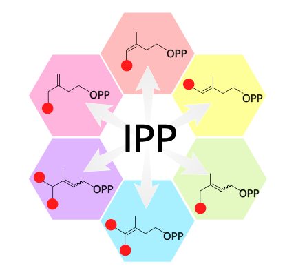 Isopentenyl pyrophosphate (IPP), the universal precursor of Terpenes, and the different precursor molecules that can be formed using a newly discovered methyltransferase.