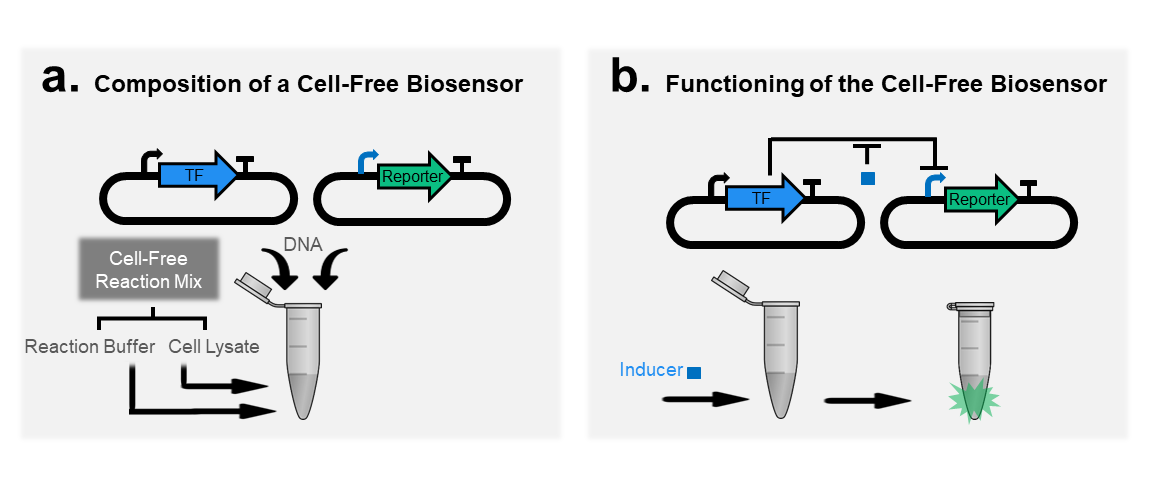 Composition and functioning of biosensors in transcription-translation cell-free systems .  (a)  A Cell-free biosensor is composed of the cell-free reaction mix (cell lysate and reaction buffers) plus the DNA.  (b)  The addition of the chemical (inducer) produces GFP. In this case, the inducer de-represses the promoter.