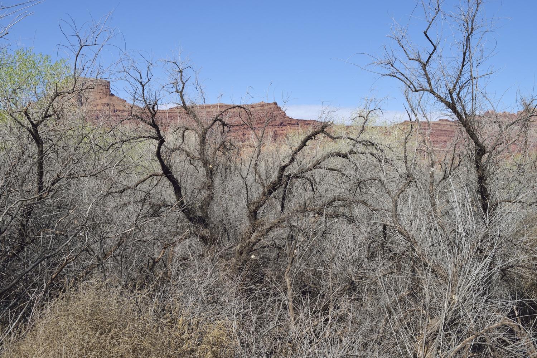 Tamarisk ( Tamarix spp. ) Moab, UT