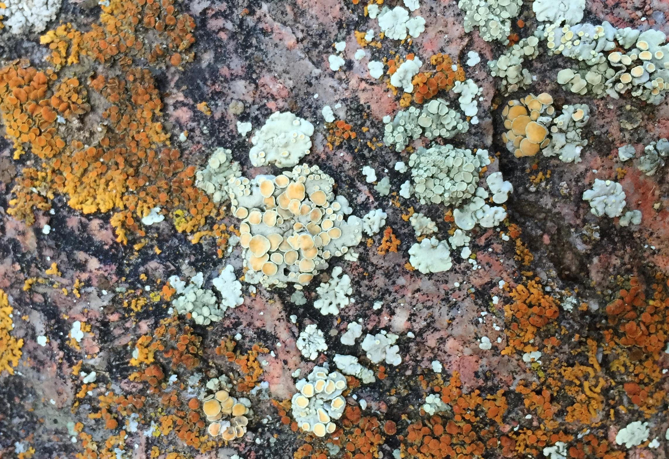 Lichen (Shawnee, CO)