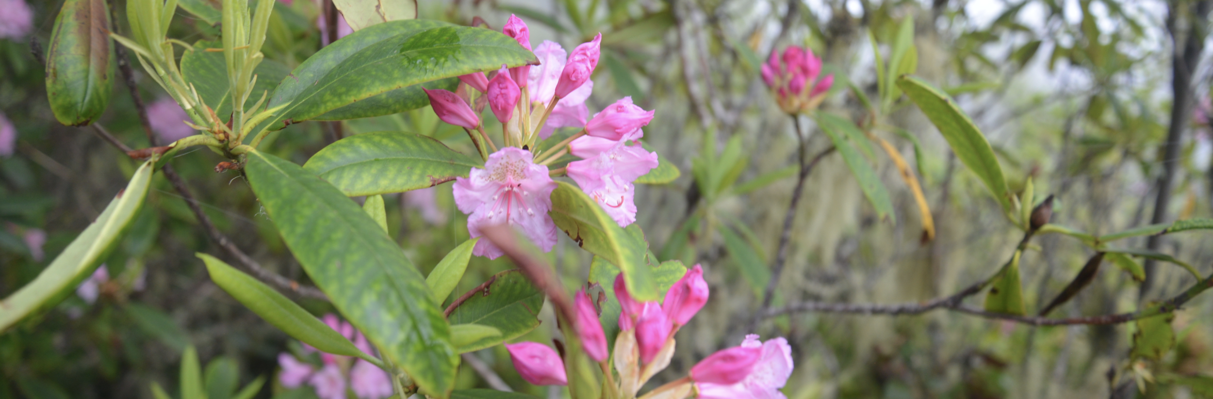 The  Pacific Rhododendron  is Washington's State flower and is found in drier parts of the Hood Canal in the understory of coniferous forests.