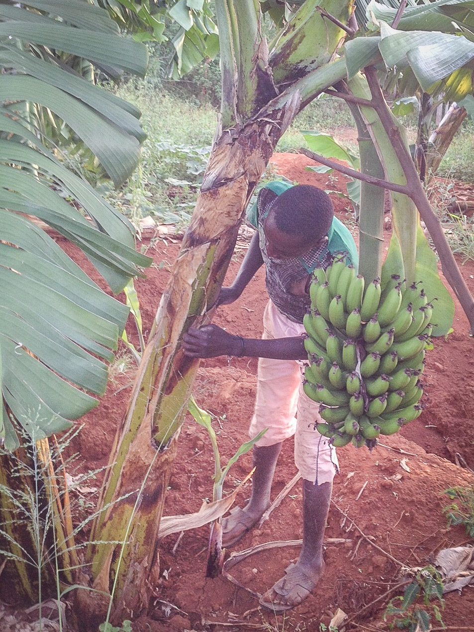 Our banana trees requires constant care. This is one of our youths reinforcing the tree to keep it upright.