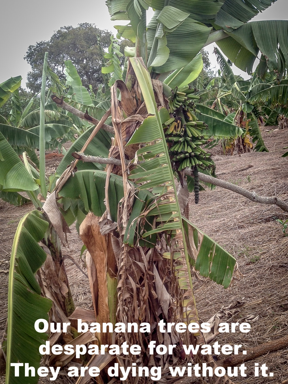 talking about not having rain, is bad that our bananas are dying as you can see._.jpg