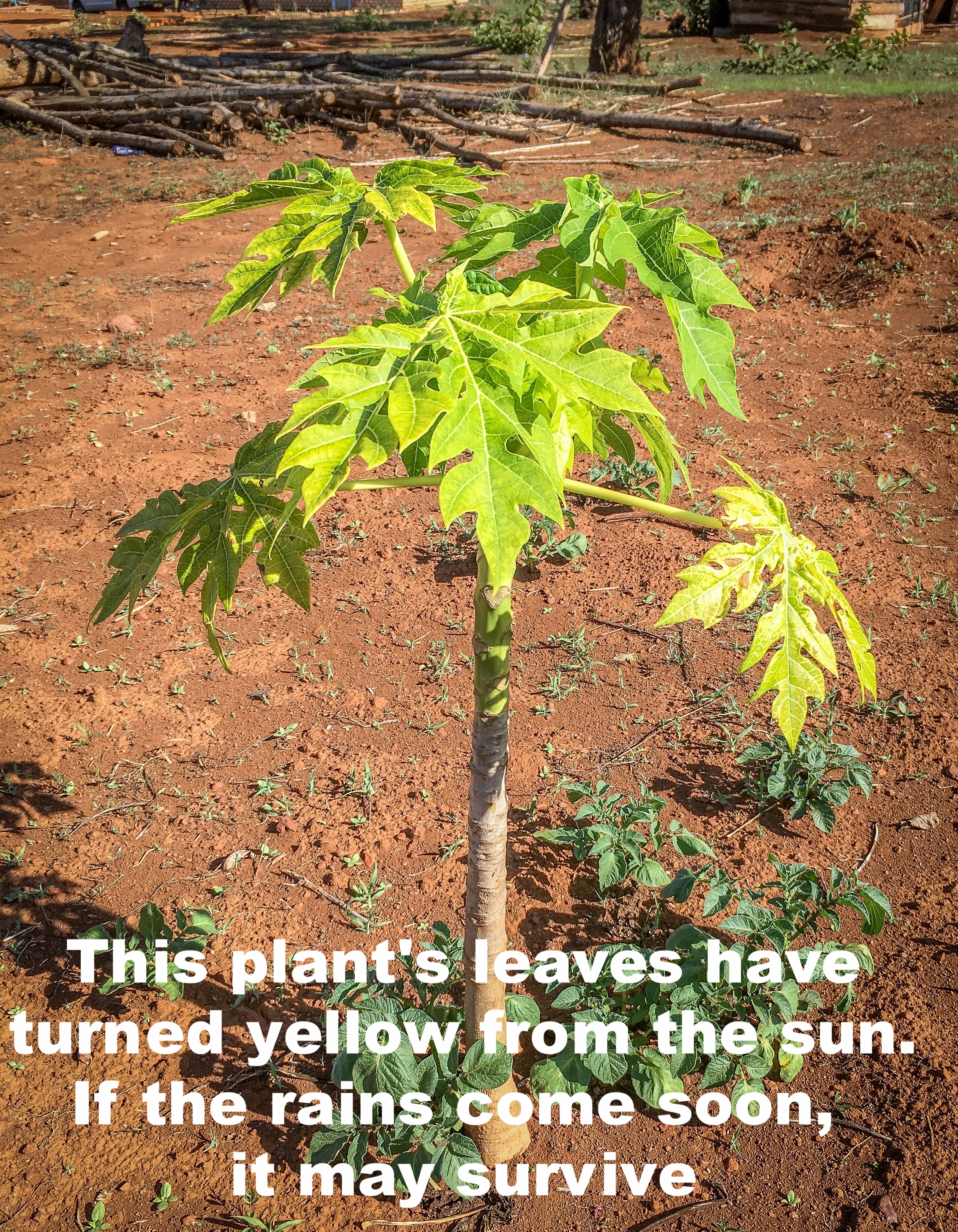 This has turn yellow, may be if it rains this can survive.jpg