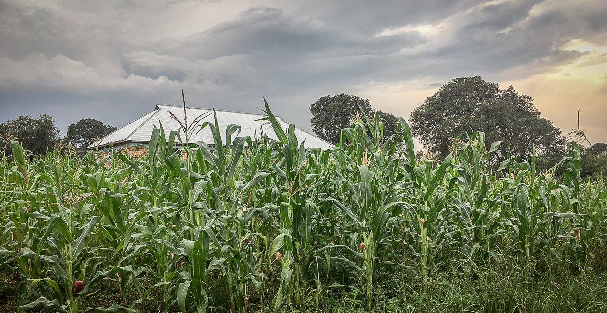 our corn field.jpg