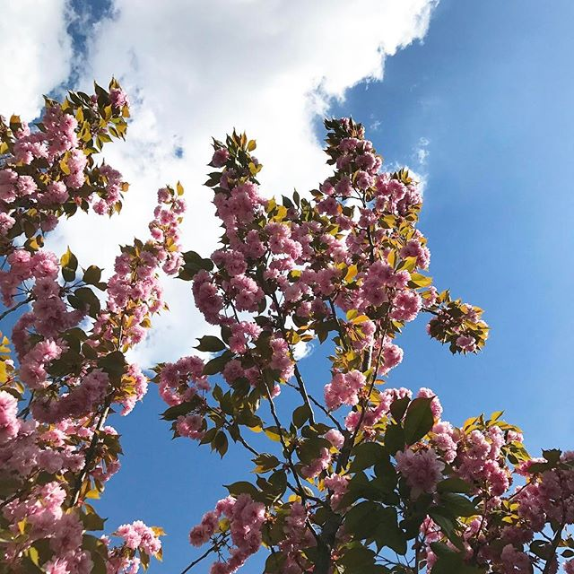 Today was a beautiful day! We went for a walk with my daughter, to get chocolate ice cream (yummy!) and stopped on our way back home to look at the sky and take this nice photo to share with you! #dezignstudio #spring #cherryblossom #bluesky  #fairfield