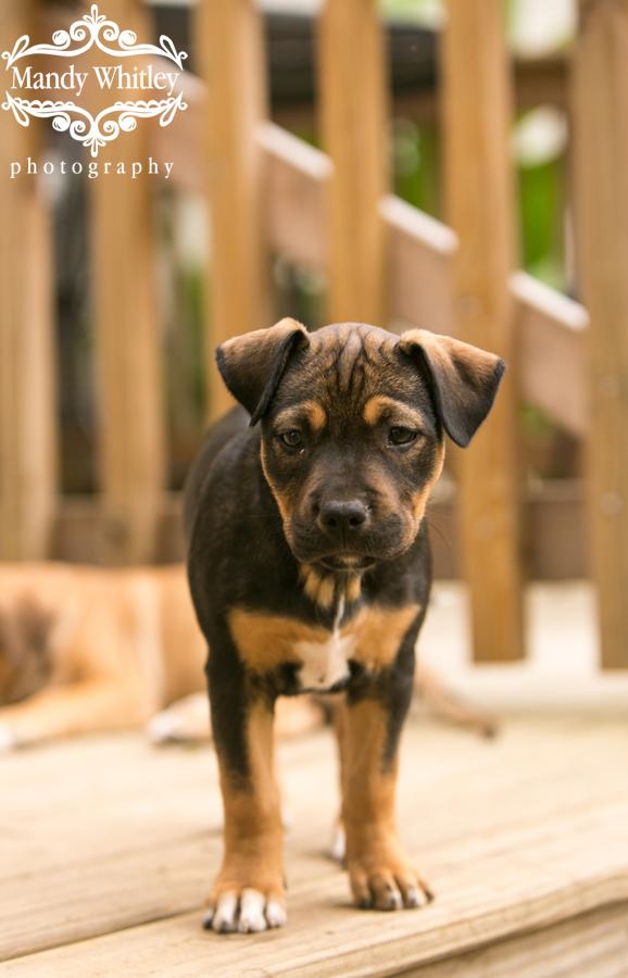 nashville dog photographer mandy whitley