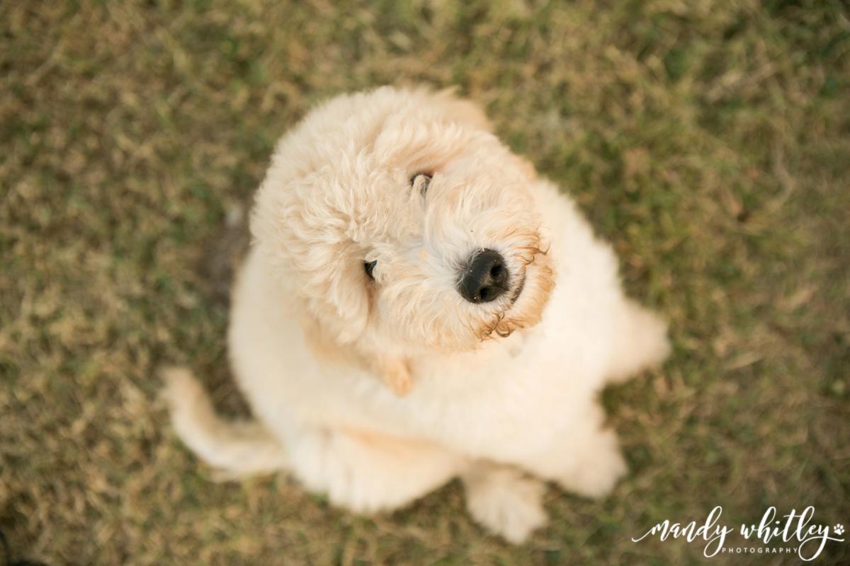 Nashville Dog Photographer Goldendoodle at Harlinsdale Farm