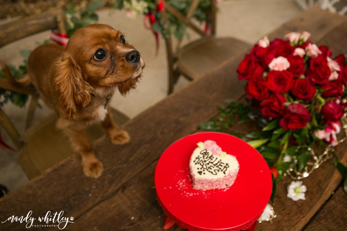 Nashville Cavelier King Charles Spaniels Valentines Pet Photographer