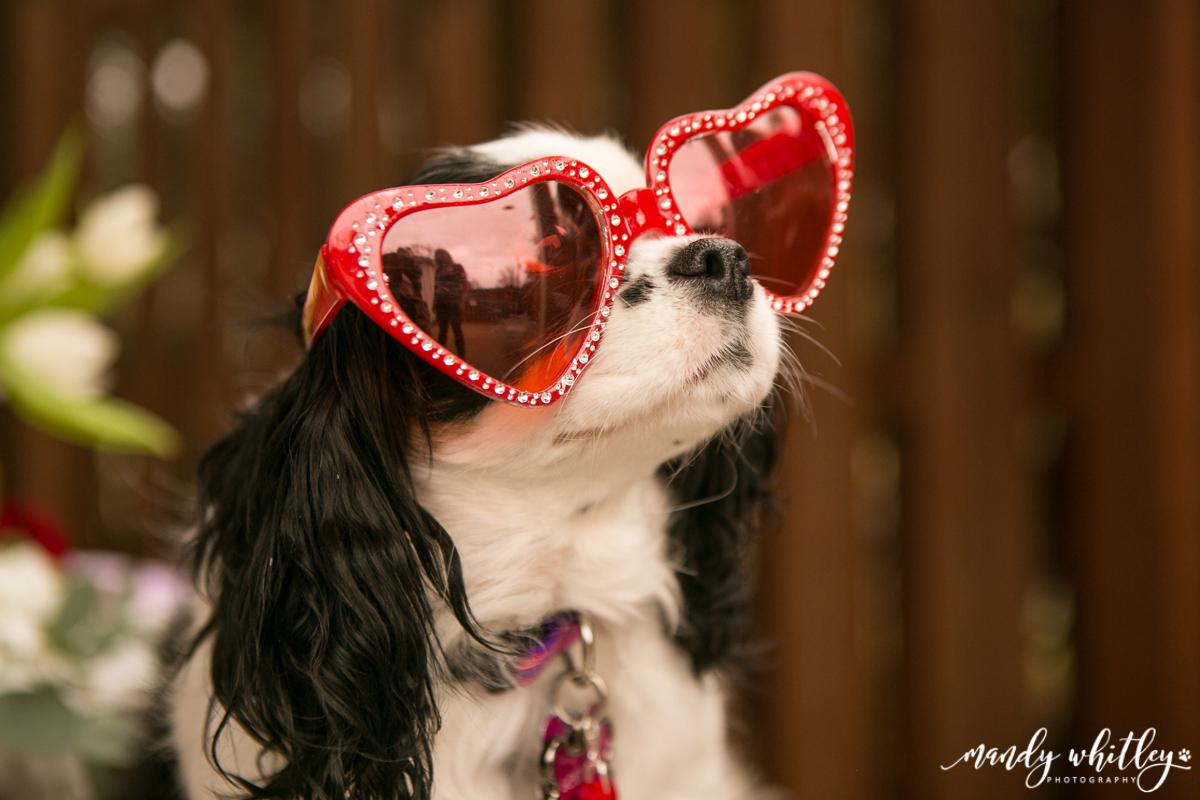 Nashville Cavalier King Charles Spaniels Valentines Pet Photographer