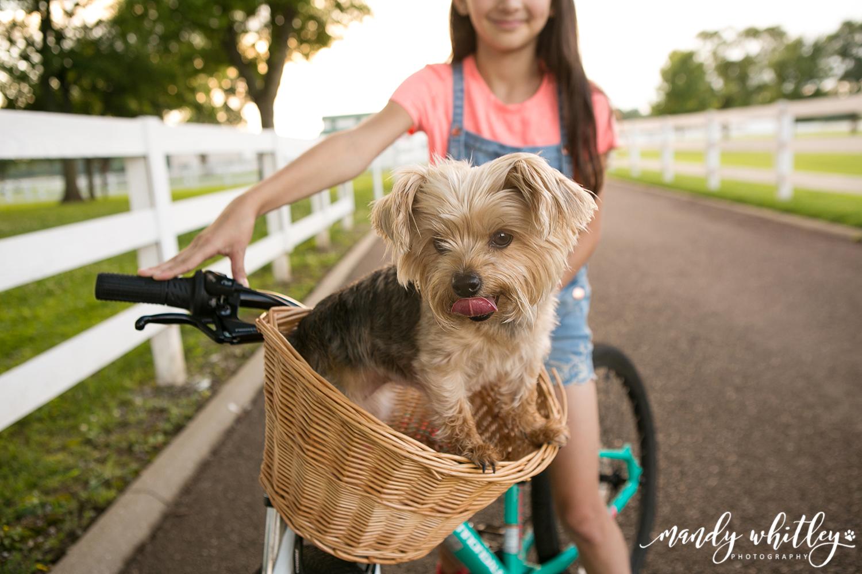 Yorkie Dog in a Bike Basket