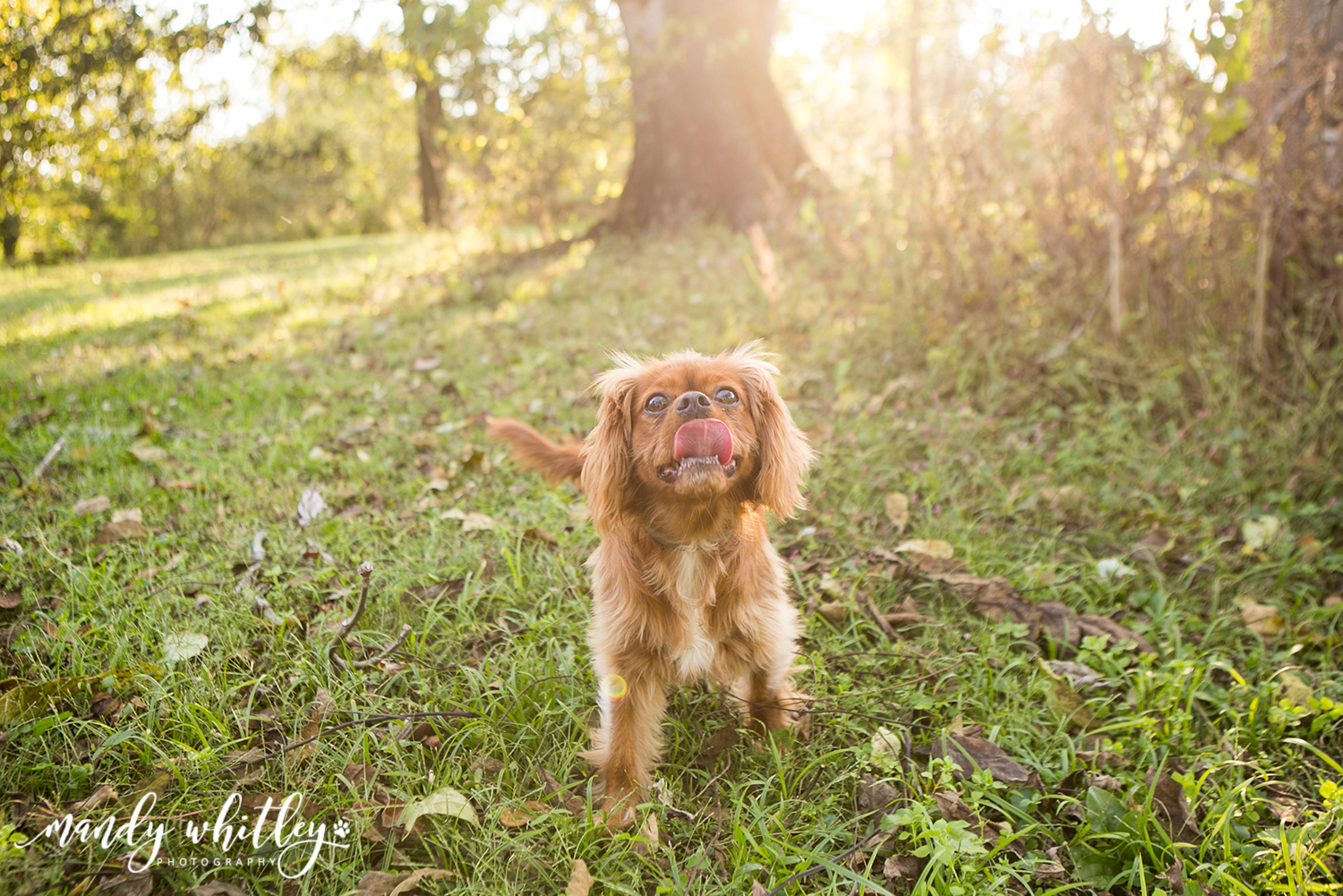 King Charles Cavalier Dog Photographer