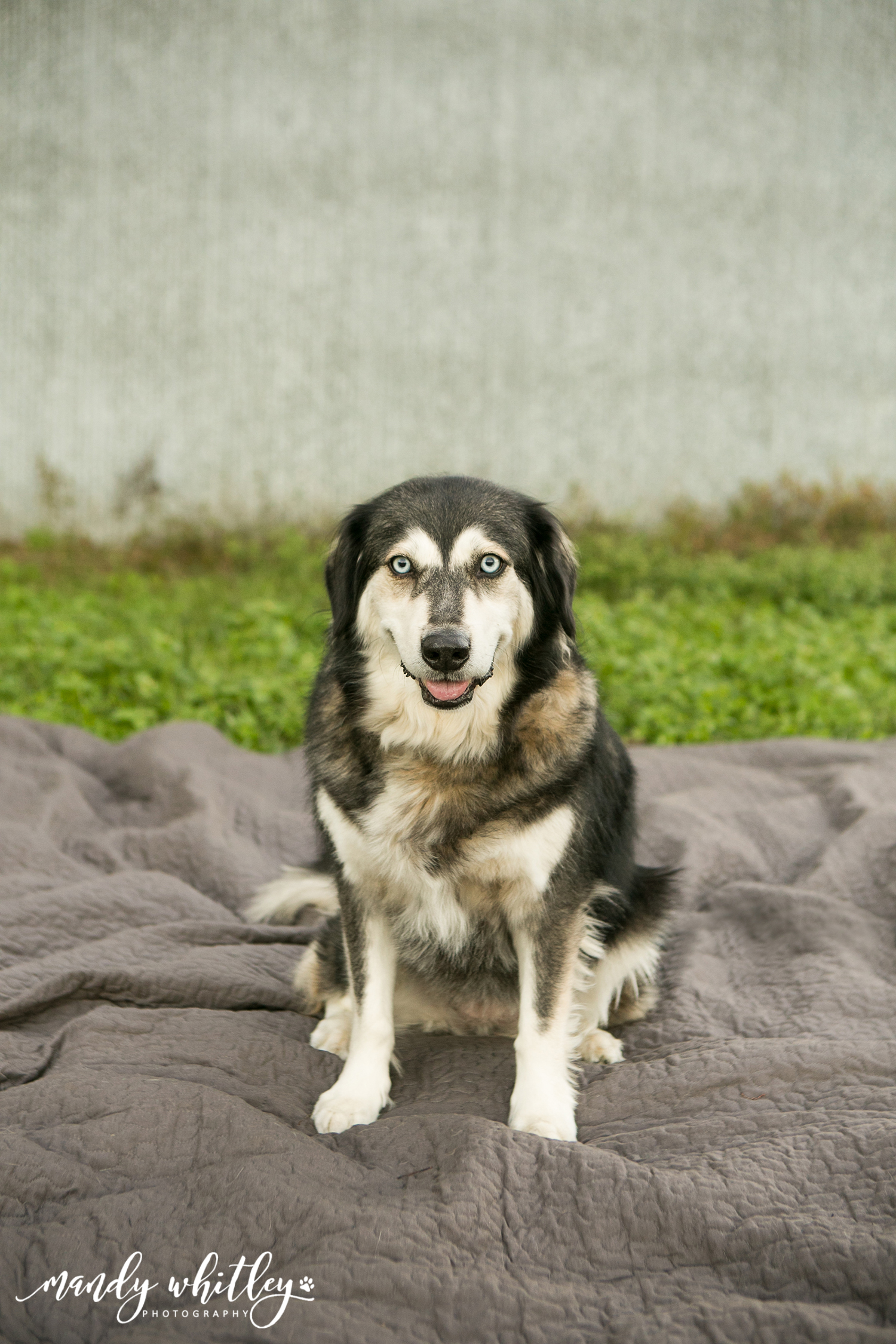 Husky Best Dog Photographer in Nashville