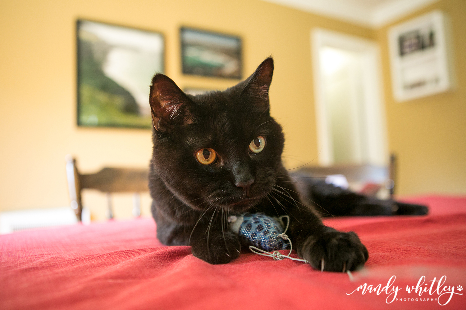 Pet Photographer Cat Photographer in Tennessee