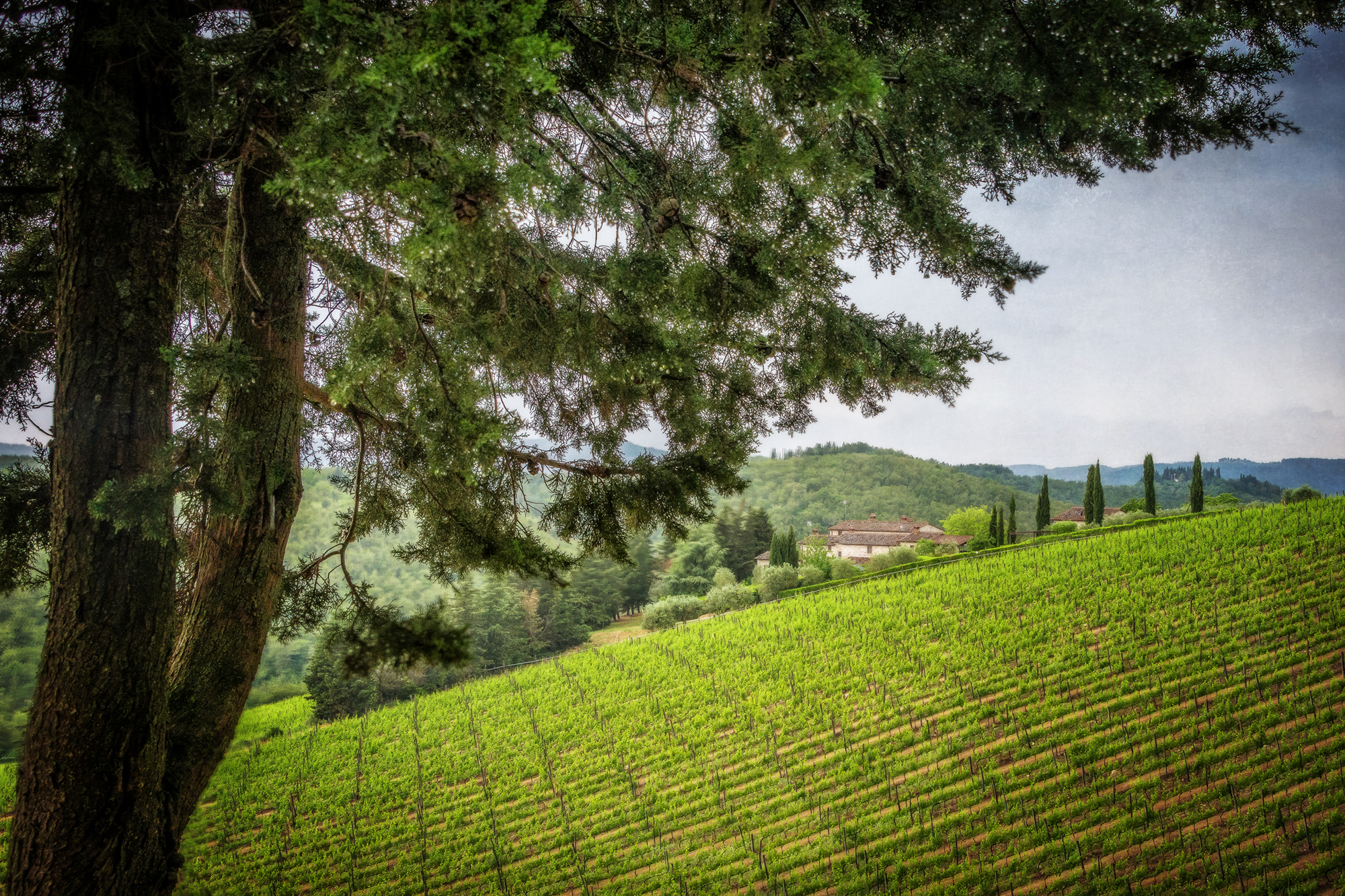 Tuscan cypress and vineyard