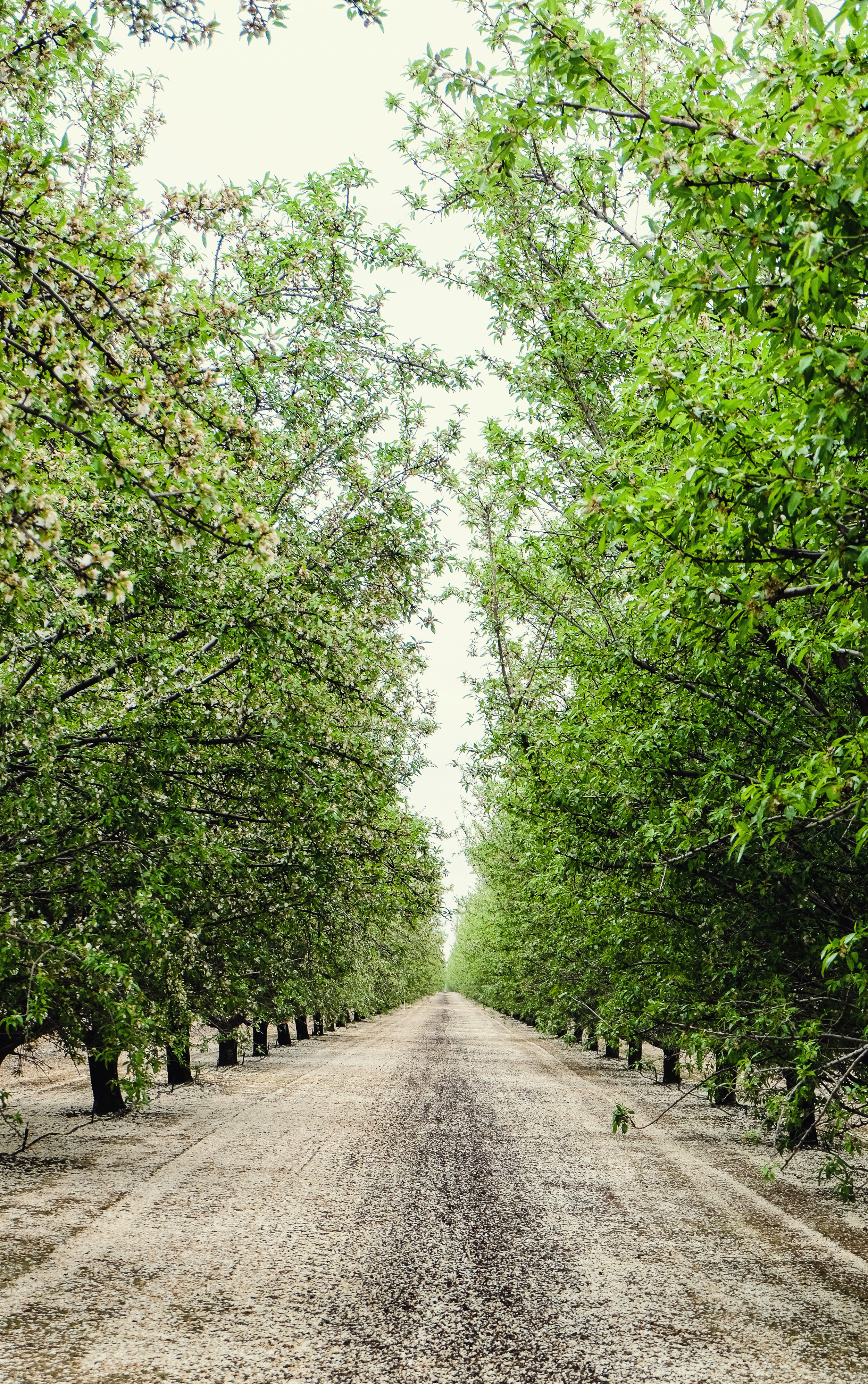 ON THE WAY TO MONTEREY, WE Got lost on Twisselman Road in Lost Hills, CA where we SPOTTED AND STOPPED FOR this beautiful,blooming Pistachio Orchard.