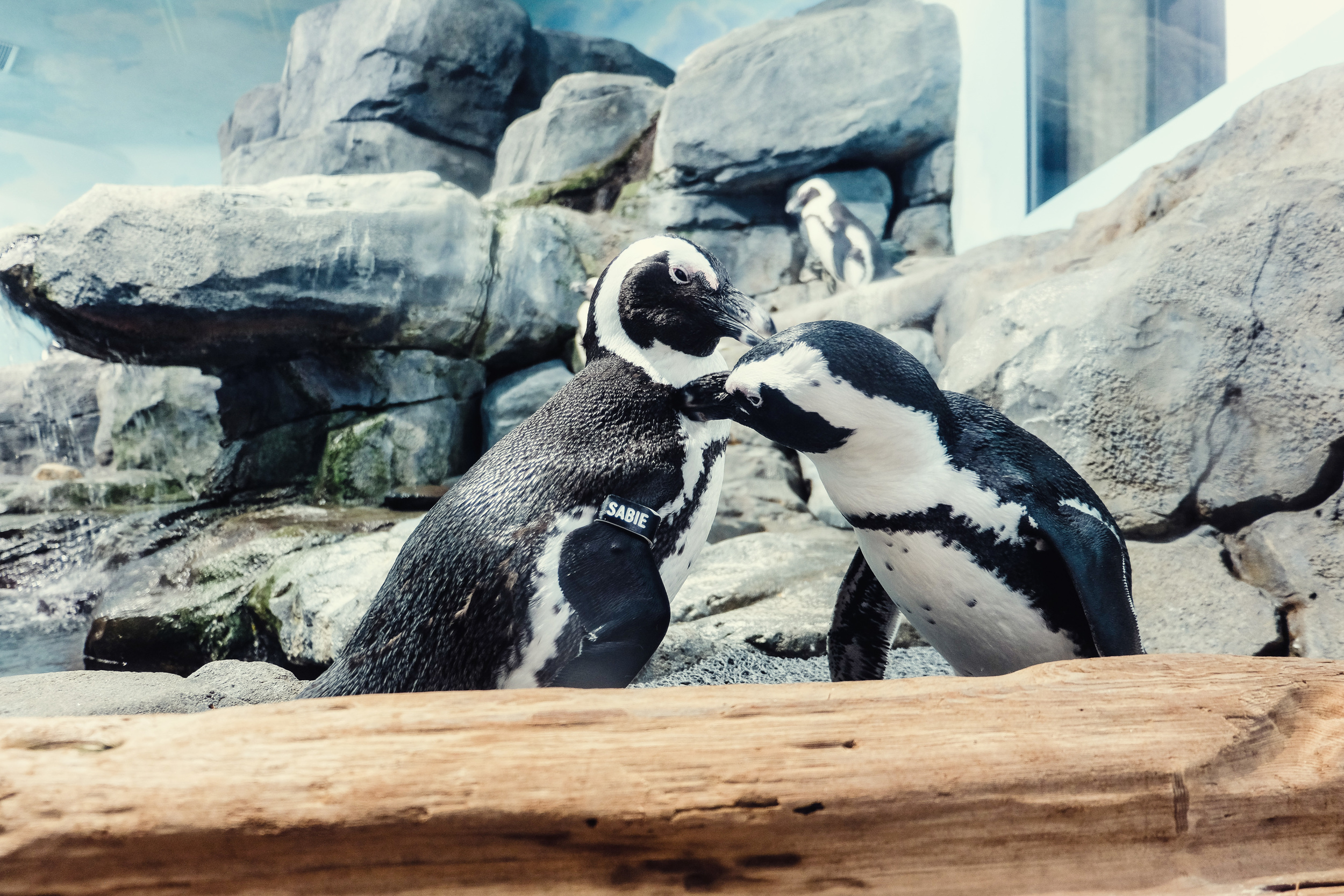 made it first time to  monterey bay aquarium and met some really sweet penguins.