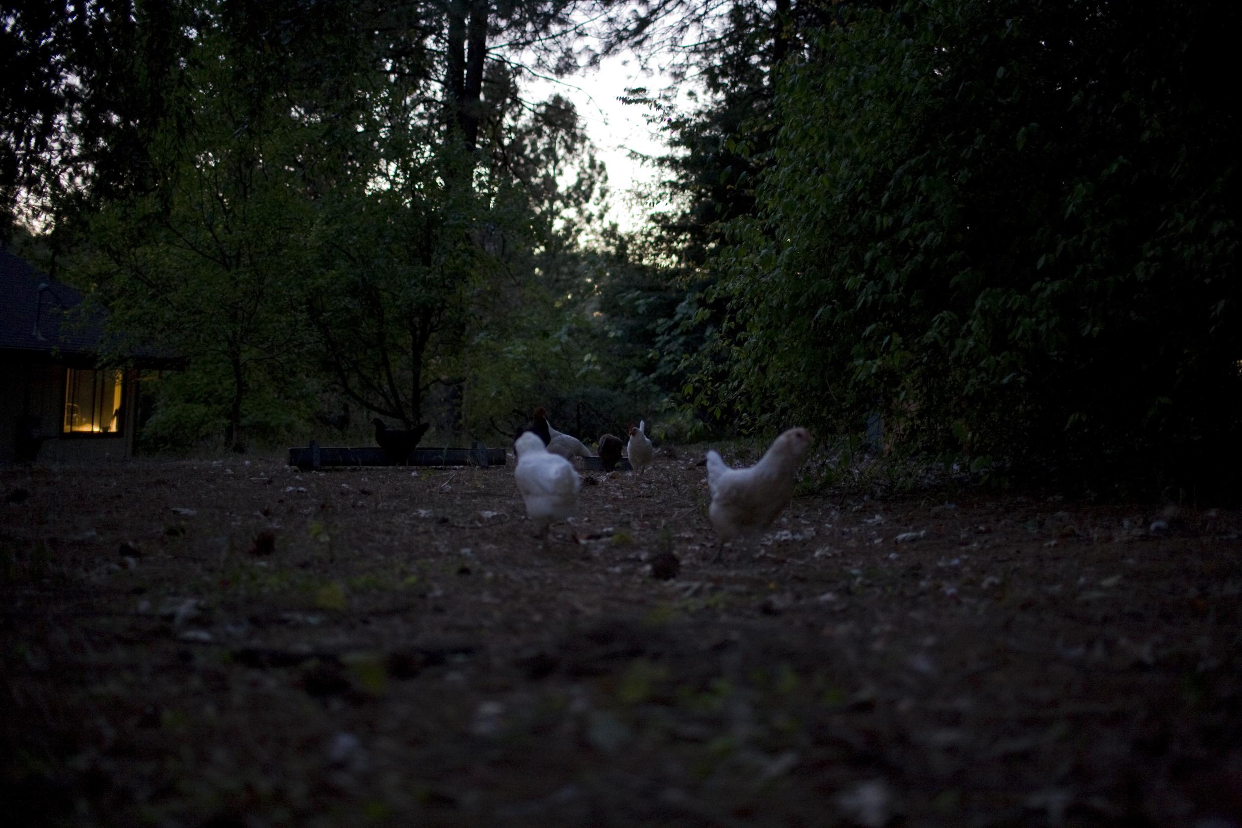 chickens dawn.jpg