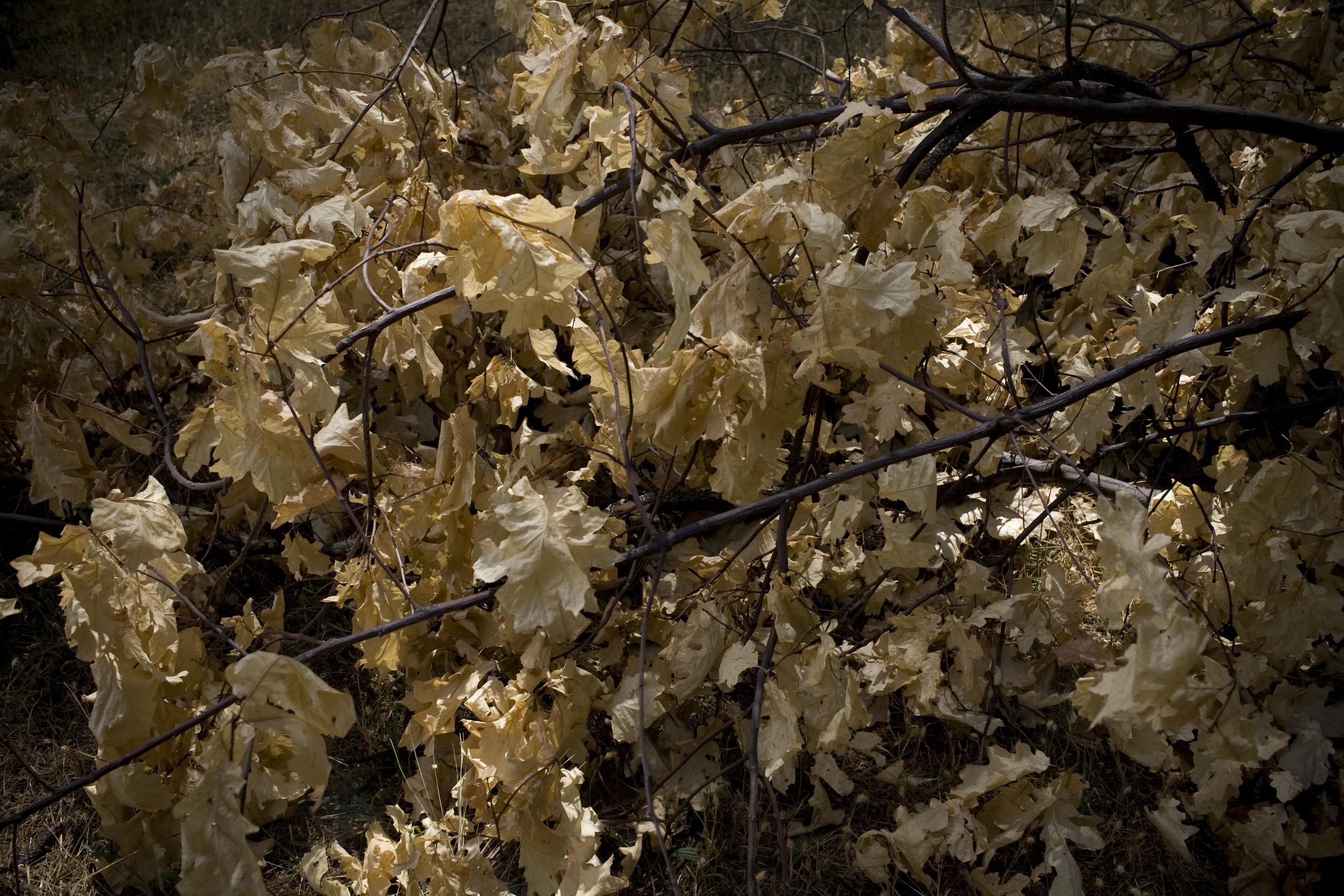 gold leaves.jpg