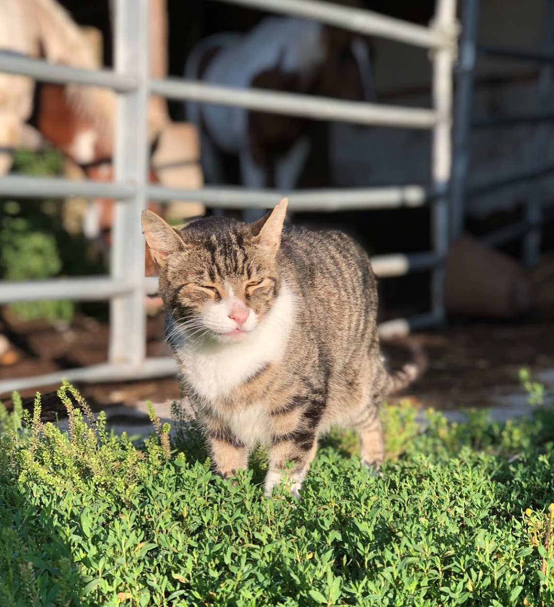 Barn cat. August 2019.