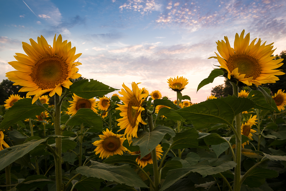 Sunflowers at the Grinter Farms during the 2013 blooms.