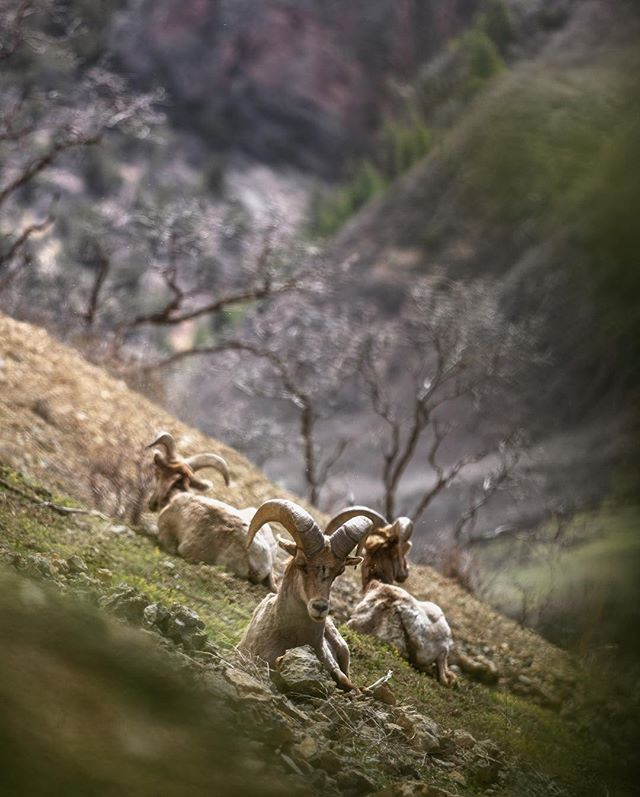 While working on a new film project in Colorado I spotted these Rocky Mountain Bighorn. I was able to put a stalk in to 20 yds crawling behind a tree. Closest I've even been to a Bighorn in the wild. Nothing beats the feeling. Check out my story for more images from this moment. @wildsheepfoundation  has an amazing Bighorn film on their website that @bencmasters directed. Well worth the watch if you haven't already. 📷:Canon 1DX w/ Canon 70-200 f2.8