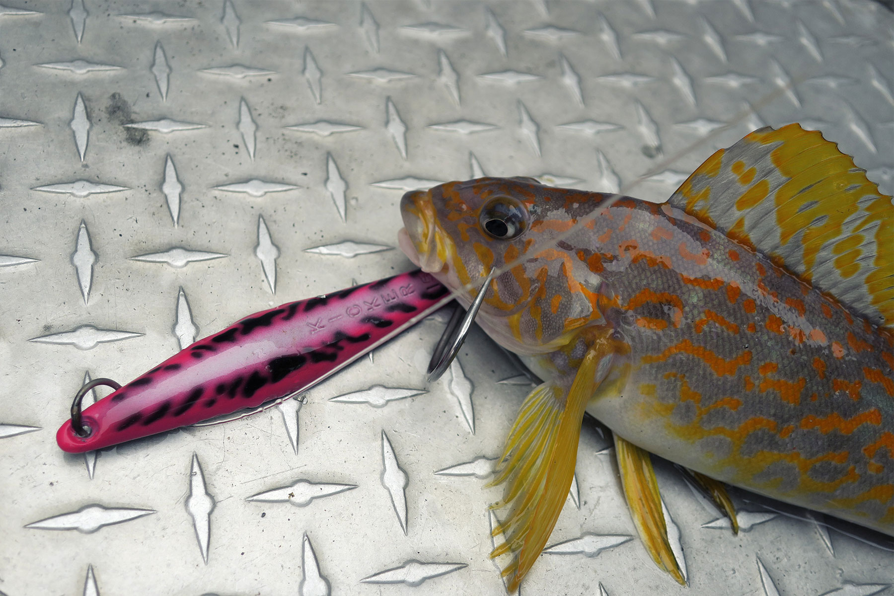 Exotic wrasse on the exotic jig.