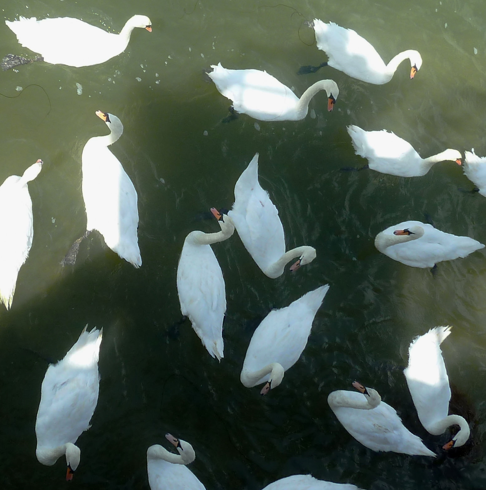 Littlehampton Swans