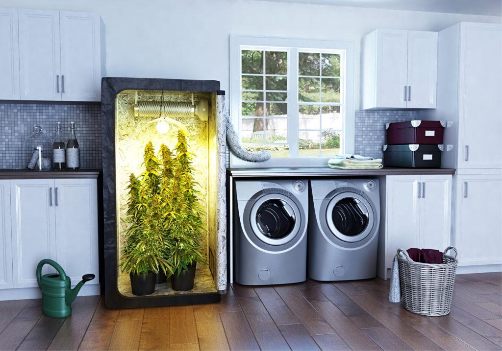 cannabis grown in home.jpg