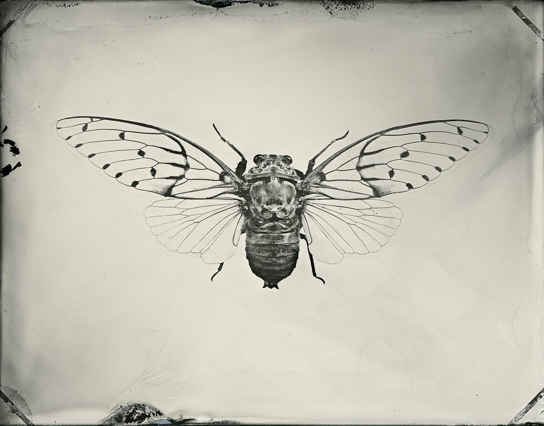 Cicada_30x24_final_v2_sec.jpg