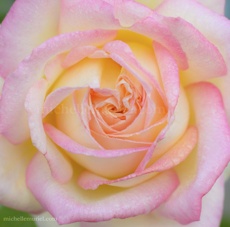 Pink Rose Essie's Roses a novel by Michelle Muriel Historical fiction, Praise for Essie's Roses visit www.michellemuriel.com