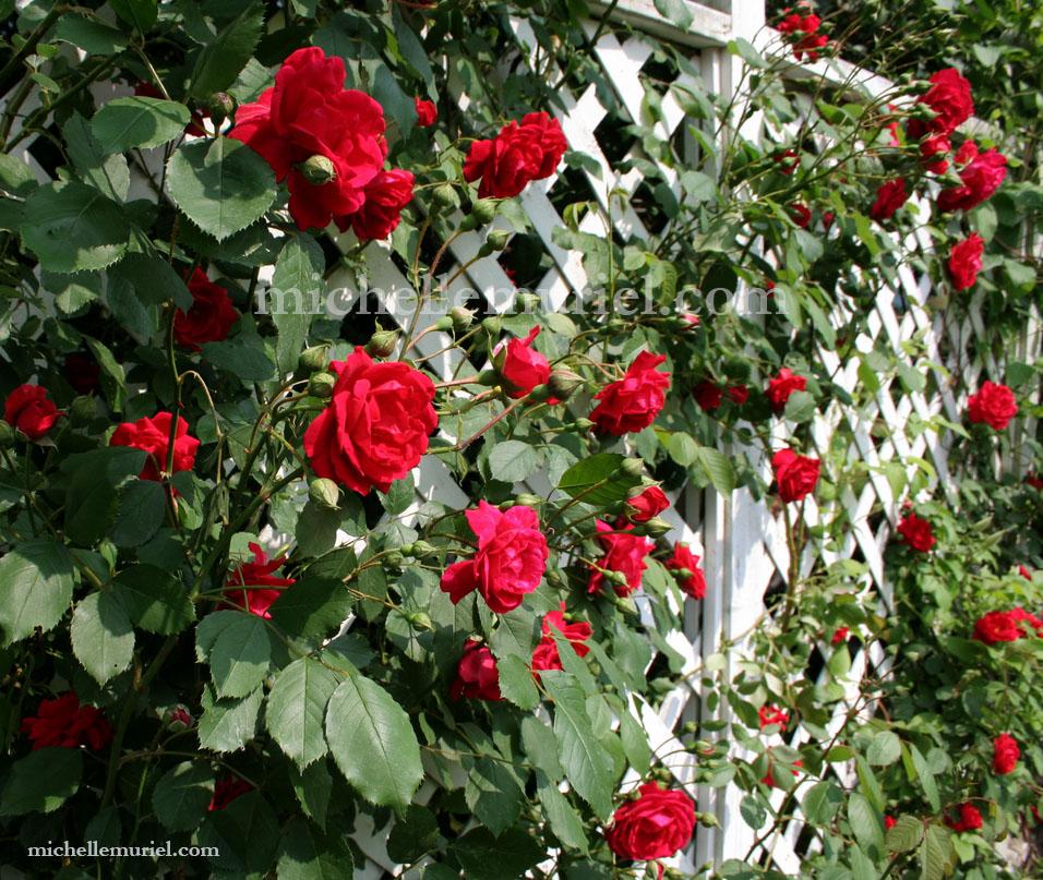 www.michellemuriel.com red roses michelle muriel blog.jpg