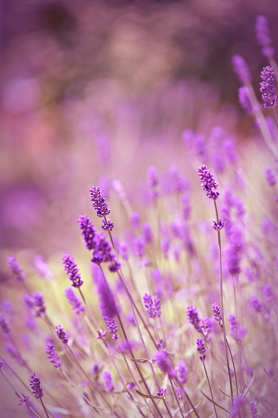 spring flowers lavender