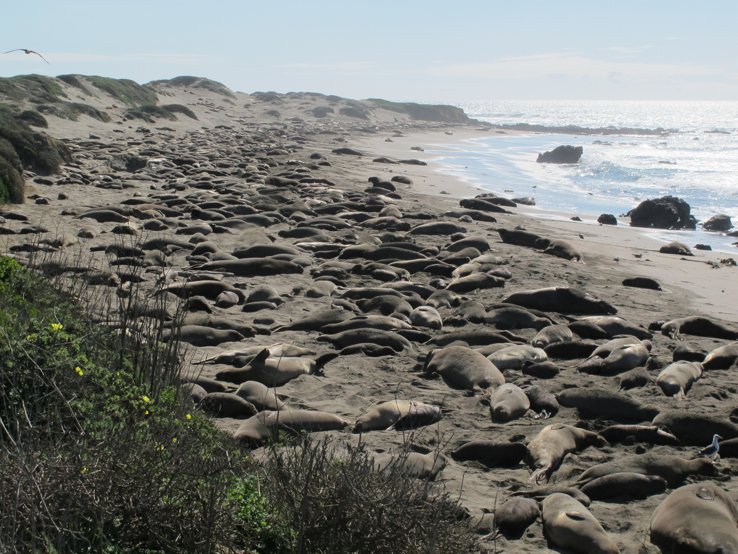 On a winter trip to California to meet with Notebook collaborators, we stopped at the elephant-seal rookery near Hearst Castle in San Simeon.