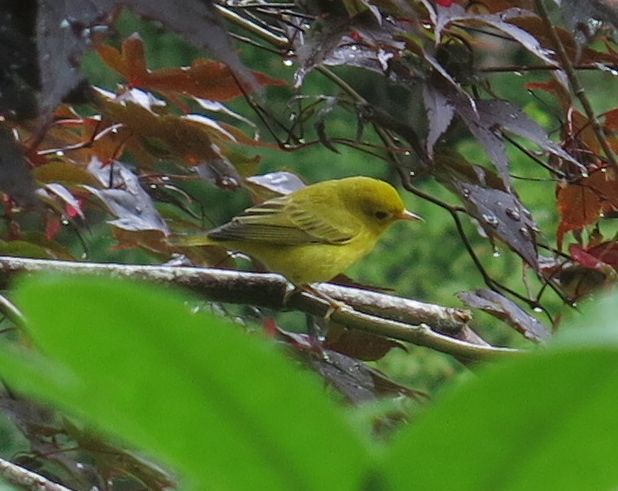 Yellow warbler, August.