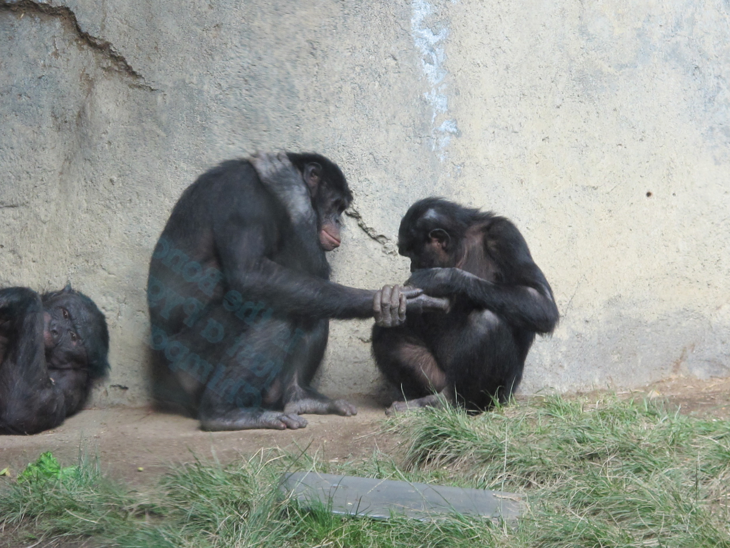 Bonobos at the San Diego Zoo. Bonobos, which were once known as pygmy chimps, are humans' closest relatives along with chimpanzees—but we have pushed them toward extinction by  destroying their habitat and hunting them as bushmeat.