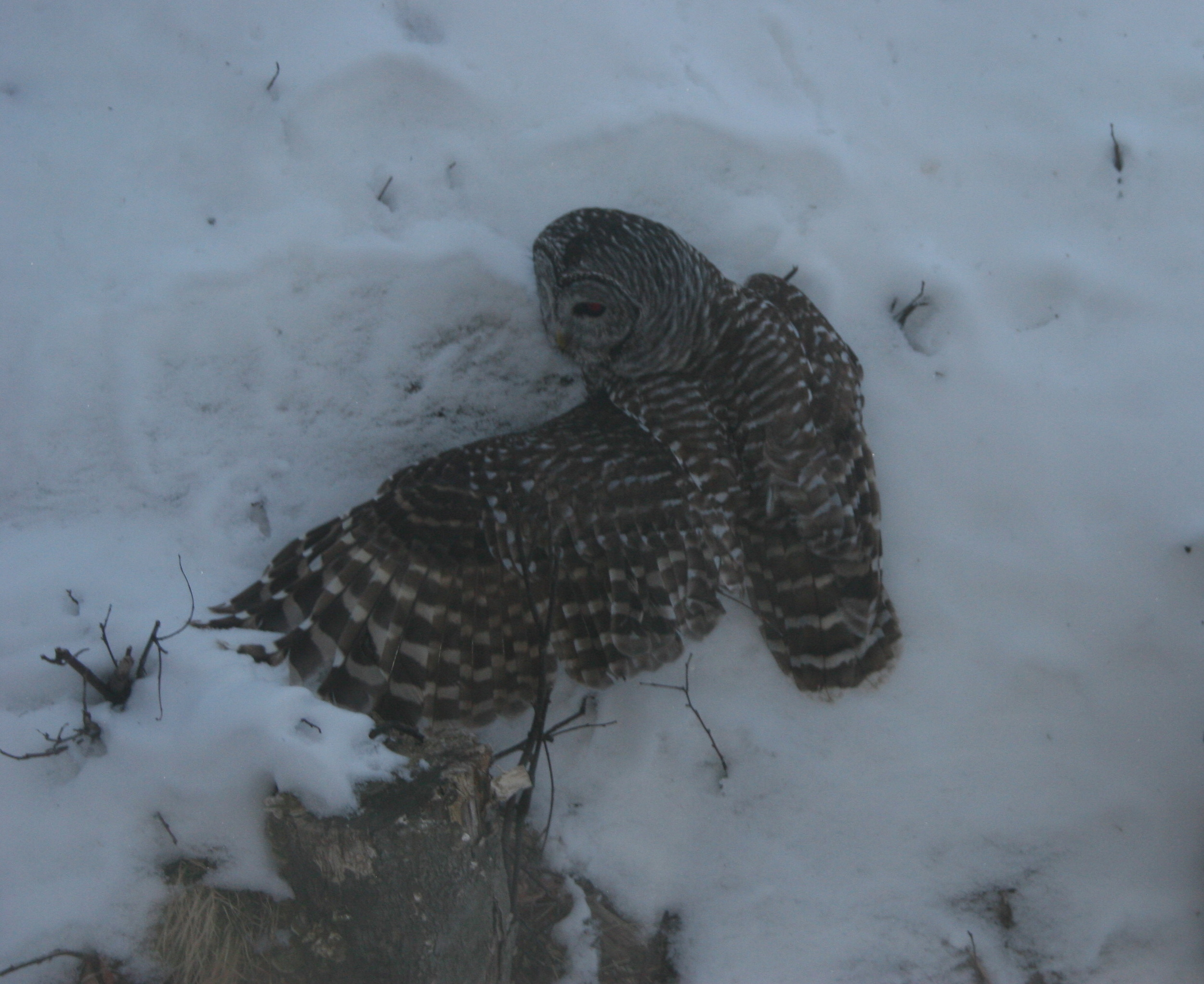 The owl suddenly flew down—and came up with a vole. There had been no tracks in the snow.