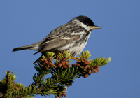 The blackpoll warbler is another boreal regular. Eighty-two percent breed there. (photo courtesy of Jeff Nadler)