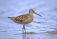 Another boreal-dependent species, the short-billed dowitcher. (photo courtesy of Jeff Nadler)