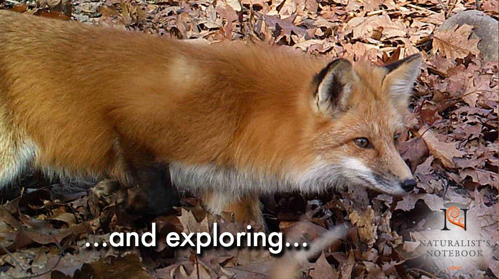 foxslidetext.jpg