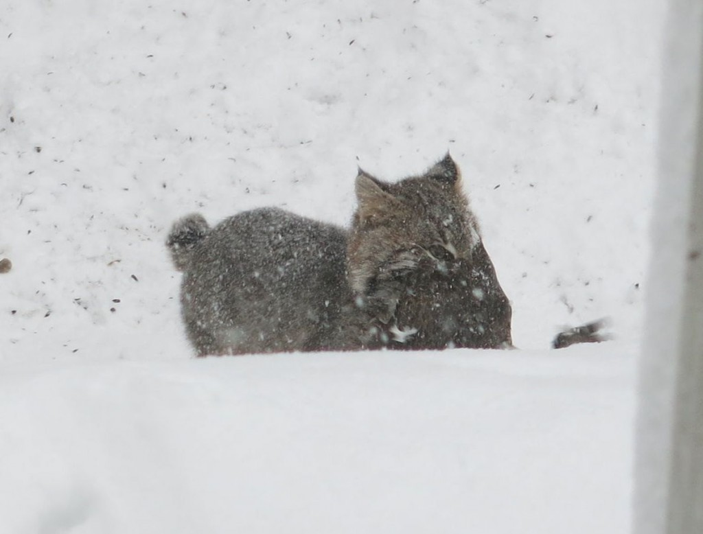 The bobcat scampered off with the duck he had caught.