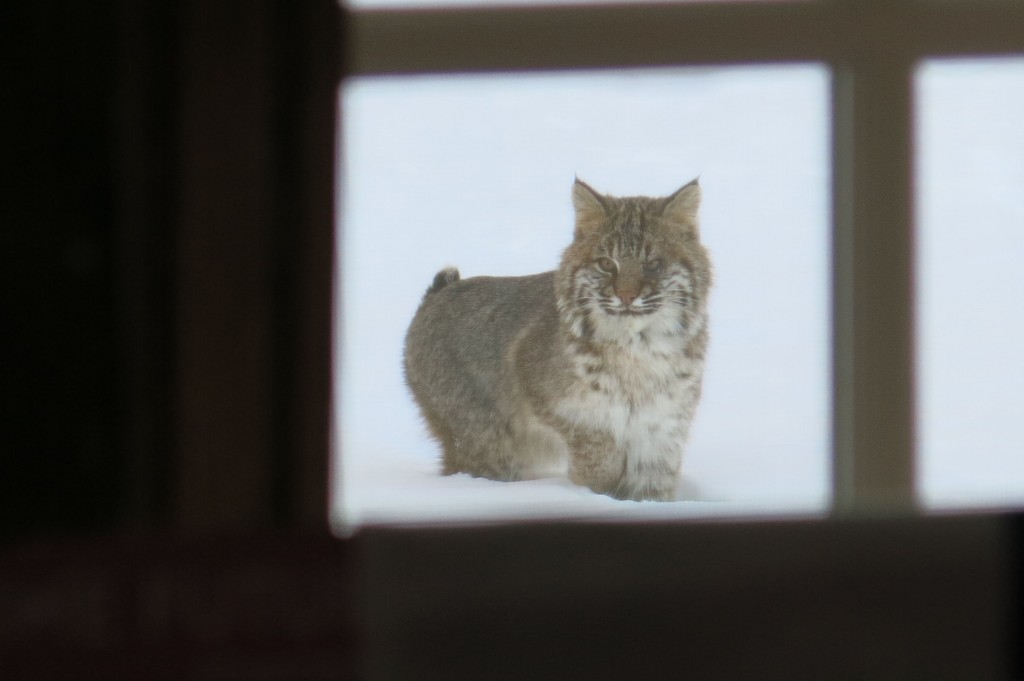 Notice the odd looking left eye. Could the bobcat have been half-blind?