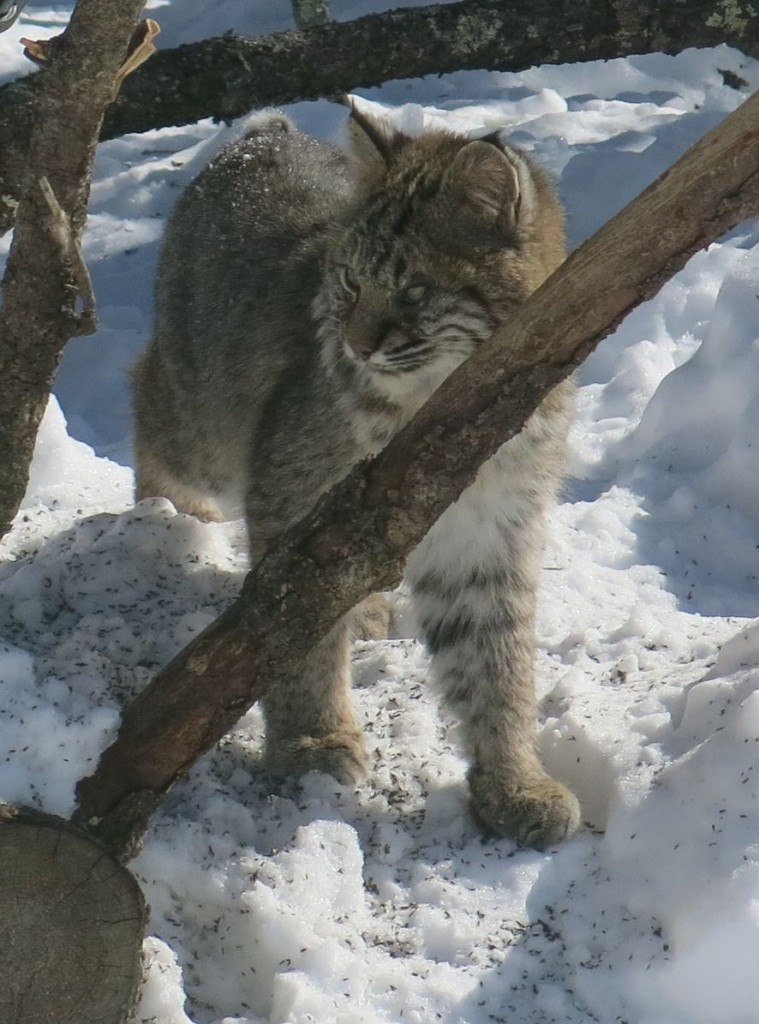 The bobcat was not huge—perhaps 20 to 25 pounds. His paws were substantially larger than those of a house cat, but smaller that those of his cousin the Canada lynx, a threatened species that also can be found in Maine. The lynx has longer legs, less noticeable spotting and hips that are higher than his shoulders. Lynx paws are large enough to help him move through deep snow; bobcats aren't as well suited to that.