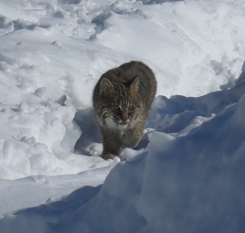 We'll miss seeing this beautiful cat on the prowl.