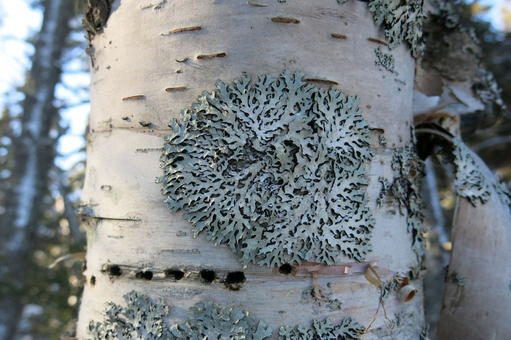 Lichen and lines of sapsucker holes adorned the Schoodic woods.