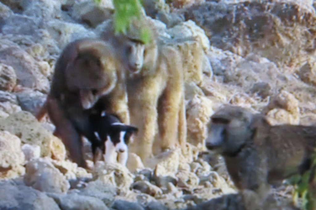 In a screen shot taken from Naturalist's Notebook contributor Luke Seitz's remarkable video of his bird-research trip to Ethiopia (see the video and more still shots from it below), one of the baboons initially reaches down to grab the puppy.