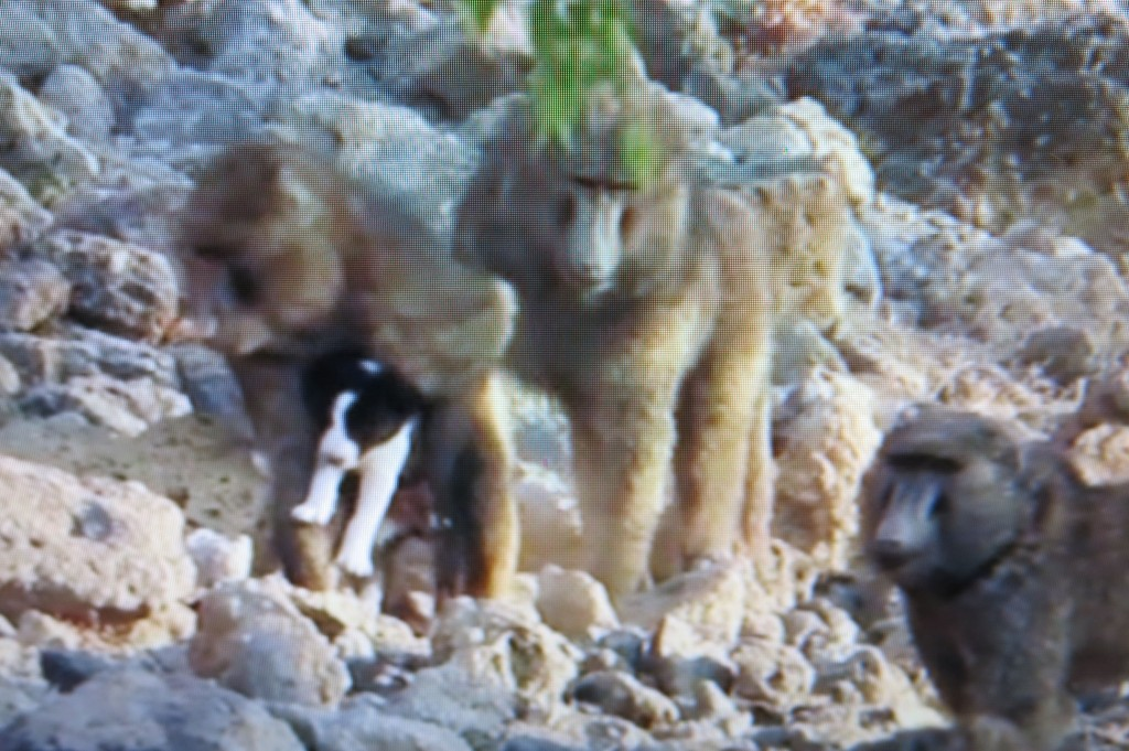 The baboon snatches up the puppy and starts to carry him or her across a rocky slope.